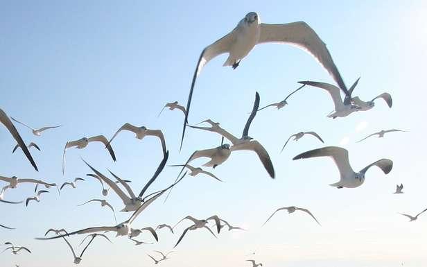 Mordercze ptaki - Hitchcock przewidział, do czego są zdolne ;) (Fot. Flickr/eschipul/Lic. CC by-sa)
